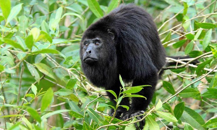 Monos Saraguatos en Xcaret