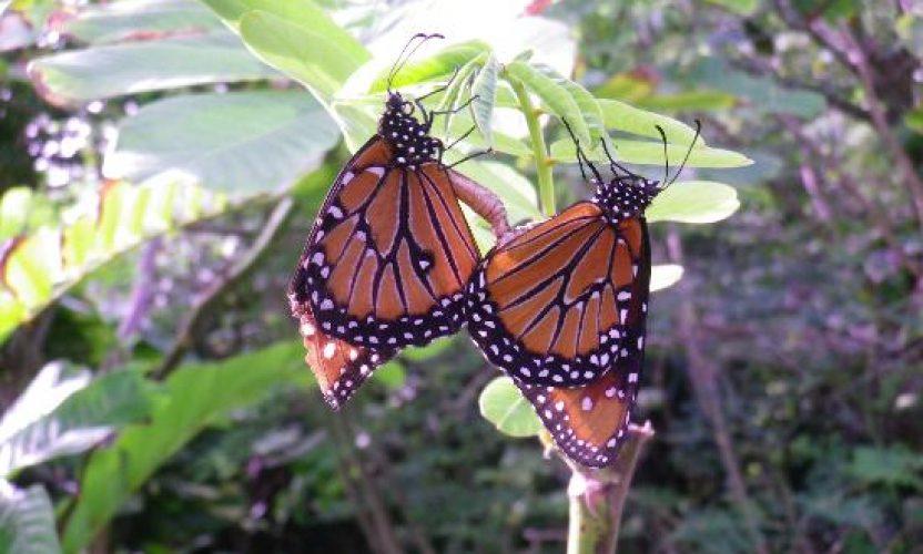 Programa de Conservación de Mariposas en Xcaret
