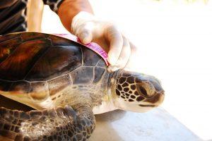 Programa de Conservación de Tortugas en Xcaret