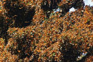 Santuario de la Mariposa Monarca: El Rosario