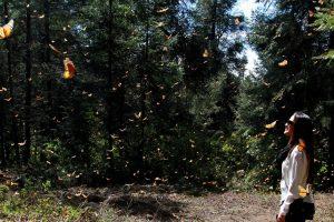 Santuario de la Mariposa Monarca: Sierra Chincua
